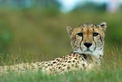 Free Beautiful Cheetah Royalty Free Stock Image - 5969986
