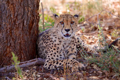 Beautiful cheetah etosha Royalty Free Stock Image