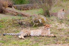 Beautiful Cheetah Gepard, Acinonyx jubatus Stock Photos