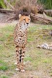 Beautiful Cheetah Gepard, Acinonyx jubatus Stock Photo