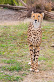 Beautiful Cheetah Gepard, Acinonyx jubatus Stock Photos