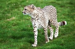 Beautiful cheetah in a green grass field Royalty Free Stock Photography