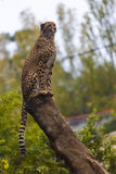 beautiful cheetah in her natural habitat Royalty Free Stock Photography