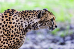 beautiful cheetah in her natural habitat Stock Images