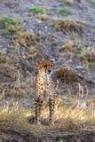 Cheetah Standing Head On stock images
