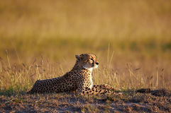 Beautiful Cheetah lying in the bush. Photographed with the warm light of sunset Stock Photography