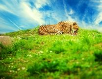 Beautiful cheetah Royalty Free Stock Images
