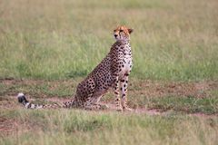 A beautiful cheetah at the masai mara Royalty Free Stock Photo