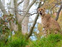 Beautiful cheetah Stock Photography