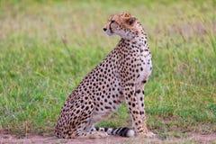 A beautiful cheetah resting Stock Image