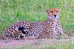 Beautiful cheetah resting Royalty Free Stock Image