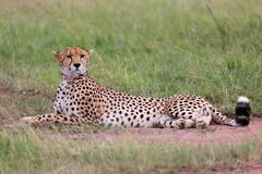 A beautiful cheetah resting at the masai mara Stock Image