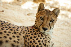 Beautiful cheetah Stock Image