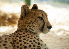 Beautiful cheetah Royalty Free Stock Image