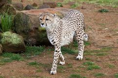 Beautiful cheetah in a rocky field Stock Image