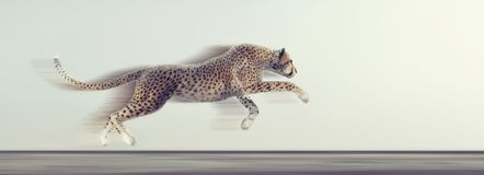A beautiful cheetah running stock images