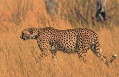 Beautiful cheetah walking across the dry yellow savannah in Hwange National Park, Zimbabwe. GNice Golden. Beautiful rare sighting of a cheetah walking across the stock photo