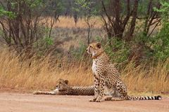 Beautiful Cheetahs On African Safari Royalty Free Stock Photos
