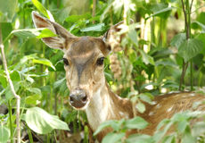 Beautiful cheetal deer in bush of Jim Corbett Royalty Free Stock Image