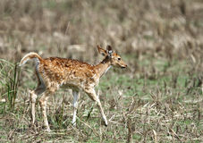 Beautiful Cheetal deer calf Stock Images