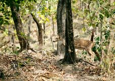 Beautiful cheetal deer in the forest of Jim Corbett Royalty Free Stock Photography