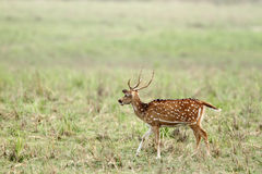 Beautiful Cheetal deer in the grassland of Dhikala Royalty Free Stock Photography