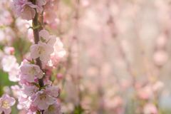 Beautiful cherry blooming. Sakura blossom in spring time over blue sky. Pink blur. Closeup spring flowers Royalty Free Stock Photography