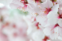 Beautiful cherry blossom Royalty Free Stock Images
