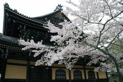 Beautiful Cherry Blossom Stock Photo