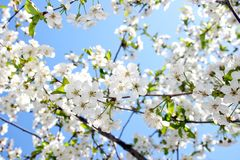 Beautiful cherry blossom against blue sky Stock Photos