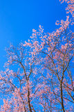 Beautiful cherry blossom against blue sky Royalty Free Stock Photo