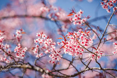 Beautiful cherry blossom against blue sky Royalty Free Stock Image