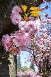 Beautiful cherry blossom royalty free stock photos