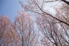 Beautiful Cherry blossom Royalty Free Stock Photography