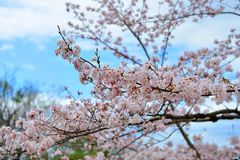 Beautiful Cherry blossom. Cherry blossom with blue sky Royalty Free Stock Photo