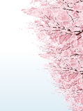 Beautiful Cherry blossom boulevard trees Royalty Free Stock Image