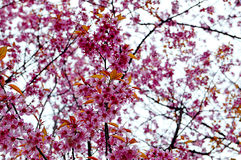 Beautiful cherry blossom, Chiang Mai Stock Photo
