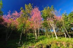 Beautiful cherry blossom, Royalty Free Stock Photography