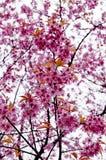 Beautiful cherry blossom Chiang Mai Thailand Royalty Free Stock Photography