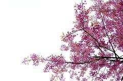 Beautiful cherry blossom Chiang Mai Thailand Stock Photo