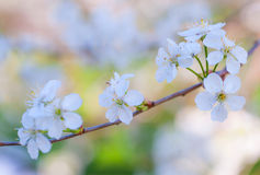 Beautiful cherry blossom close up. With selective focus and colorful cheerful bokeh Royalty Free Stock Photography