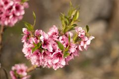 Beautiful Cherry blossom flower in blooming royalty free stock photo