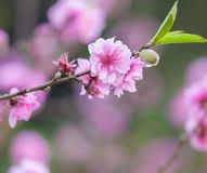 Beautiful Cherry blossom flower in blooming at springtime Royalty Free Stock Photos