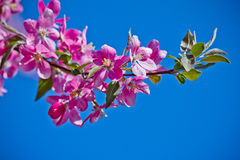 Beautiful cherry blossom flower Royalty Free Stock Images
