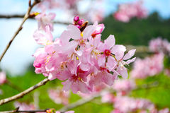 Beautiful cherry blossom flower, Sakura flower. Stock Images