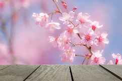 Beautiful cherry blossom flower in spring Royalty Free Stock Images