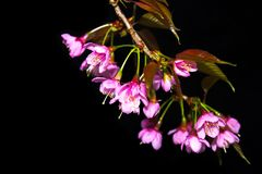 Beautiful cherry blossom flowers on a black nature background Royalty Free Stock Photography