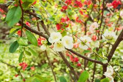 Beautiful cherry blossom flowers in park Stock Images