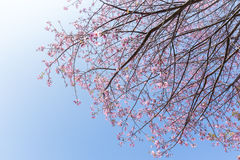 Beautiful cherry blossom Stock Photography