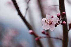 Beautiful cherry blossom macro in spring. Pink cherry blossom, cherry blooms on branch, springtime. Beautiful natural wallpaper or background stock images
